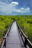 Mangrove forest trail — Stock Photo