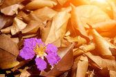 Violet color of Queen's crape myrtle flower on the floor. — Stock Photo