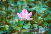 Blooming lotus flower in the farm, Thailand. — Stock Photo