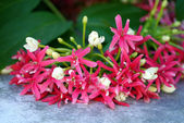 Rangoon creeper flower — Stock Photo