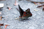 Common Gaudy Baron Butterfly. — Stock Photo
