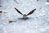 Gemeenschappelijke protserige baron vlinder. — Stockfoto