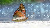 Comune farfalla sgargianti barone. — Foto Stock