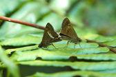 Breeding butterflies — Stock Photo