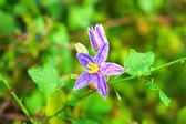Flower of Thai Herb (Solanum Trilobatum Linn.) — Stock Photo