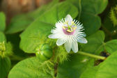 Fetid passionflower, Scarletfruit passionflower, Stinking passio — Stock Photo