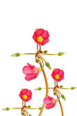 Oxalis iron cross flower — Stock Photo