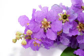 Violet color of Queen's crape myrtle flower on white background. — Stock Photo