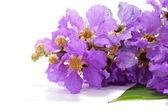 Fioletowy kolor królowej mirt kwiat na białym tle. — Zdjęcie stockowe
