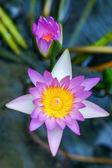 Belle fleur de nénuphar ou lotus rose. — Photo