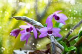 Purple orchid Flowers (Dendrobium parishii) — Foto de Stock