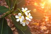Beyaz ve sarı frangipani çiçek yaprakları ile — Stok fotoğraf