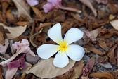 Frangipani and dry leaves — Stock Photo