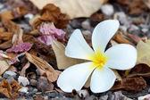 Frangipani and dry leaves — Stok fotoğraf