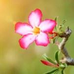 Adenium obesum (Desert Rose, Impala Lily, Mock Azalea) — Stock Photo #46399381