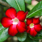 Red Adenium obesum (Desert Rose, Impala Lily, Mock Azalea) — Stock Photo #47656127