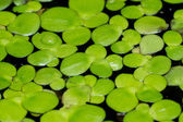 Macro of duckweed — Stock Photo