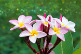 Pink and white frangipani flower. — Stock Photo
