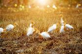 Eastern cattle egret in breeding plumage — Stock Photo