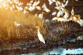 Eastern cattle egret in breeding plumage walking along a rice fi — Stock Photo