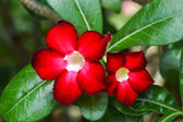 Red Adenium obesum (Desert Rose, Impala Lily, Mock Azalea) — Stock Photo