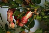 Dojrzałe pithecellobium dulce fasoli — Zdjęcie stockowe