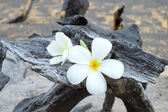 Two plumeria flowers on the sand on the wood. — Stock Photo