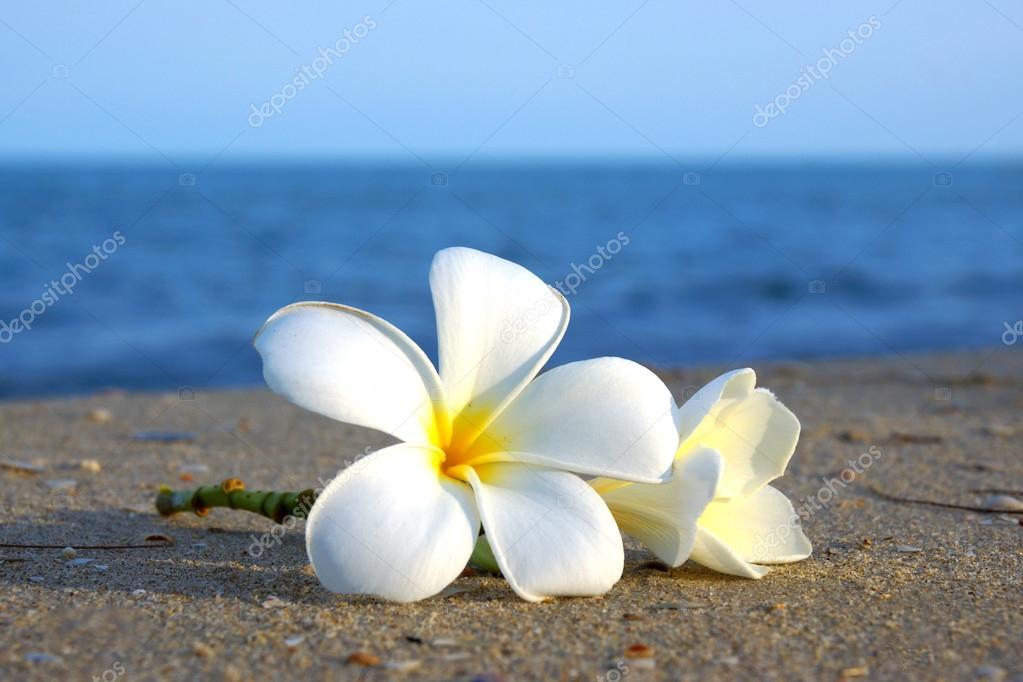 Two Plumeria Flowers On The Sand Beach — Stock