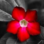 Red Adenium obesum (Desert Rose, Impala Lily, Mock Azalea) — Stock Photo #48803627