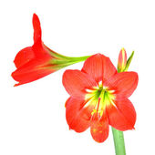 Beautiful Blossoms of red Amaryllis flower — Stock Photo