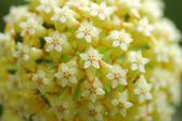 Yellow Hoya flowers. (Hoya parasitica (Roxb.) Wall. ex Wight) — Stock Photo
