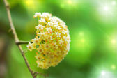 Yellow Hoya flowers. (Hoya parasitica (Roxb.) Wall. ex Wight) — Foto de Stock