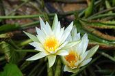 Wild water lilies. — Zdjęcie stockowe