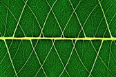 Bodhi leaf macro pattern of green — Stock Photo