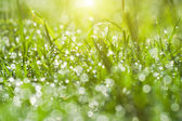 Fresh morning dew on spring grass, natural green background — Stock Photo