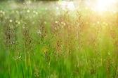 Gold beard grass. — Stock Photo