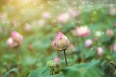 Lotus flower blooming in garden. — Stock Photo
