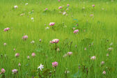 Lotus flower are blooming in the meadow — Stock Photo
