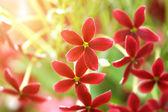 Rangoon creeper flower in garden. — Stock Photo