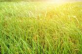 Rýžové pole — Stock fotografie