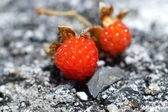 Ripe raspberry in the forest — Stock Photo