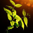 Green leaves on dark background. — Stock Photo #49719497