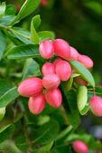 Súper frutas de árbol. — Foto de Stock