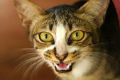 Bengal cat. — Stock Photo