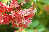 Red and pink of Rangoon creeper flower. — Stock Photo