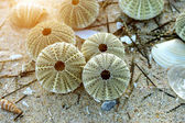 Remains of urchin on the beach — Stock Photo
