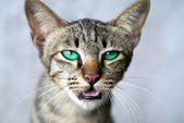 Blue eyes of Bengal cat. — Stock Photo