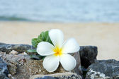Frangipani flower in the morning on the beach. — Stock Photo