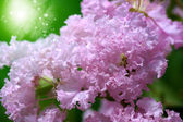 Crape myrtle flower. — Stock Photo
