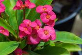 Euphorbia milli Desmoul — Stock Photo